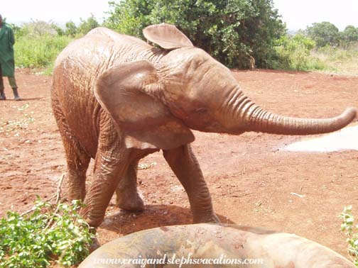 Baby Elephant at Sheldrick Orphanage