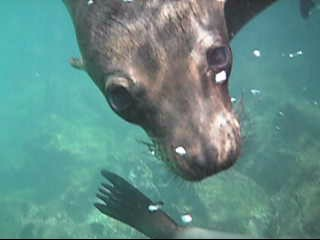 Sea Lion Snorkeling Video